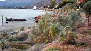 Αιτωλικό: Δόθηκε εξήγηση για τους ιστούς από αράχνες που «κατάπιαν» τη βλάστηση (pics&vids)