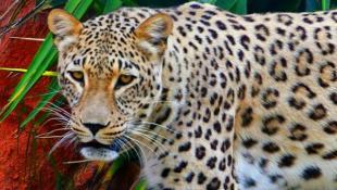 Έτσι δραπέτευσαν τα τζάγκουαρ από το Αττικό Ζωολογικό Πάρκο (ΒΙΝΤΕΟ)