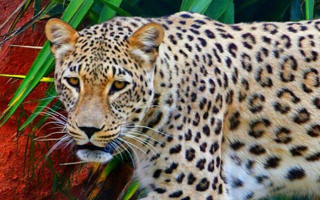 Έτσι δραπέτευσαν τα τζάγκουαρ από το Αττικό Ζωολογικό Πάρκο (ΒΙΝΤΕΟ) | panathinaikos24.gr